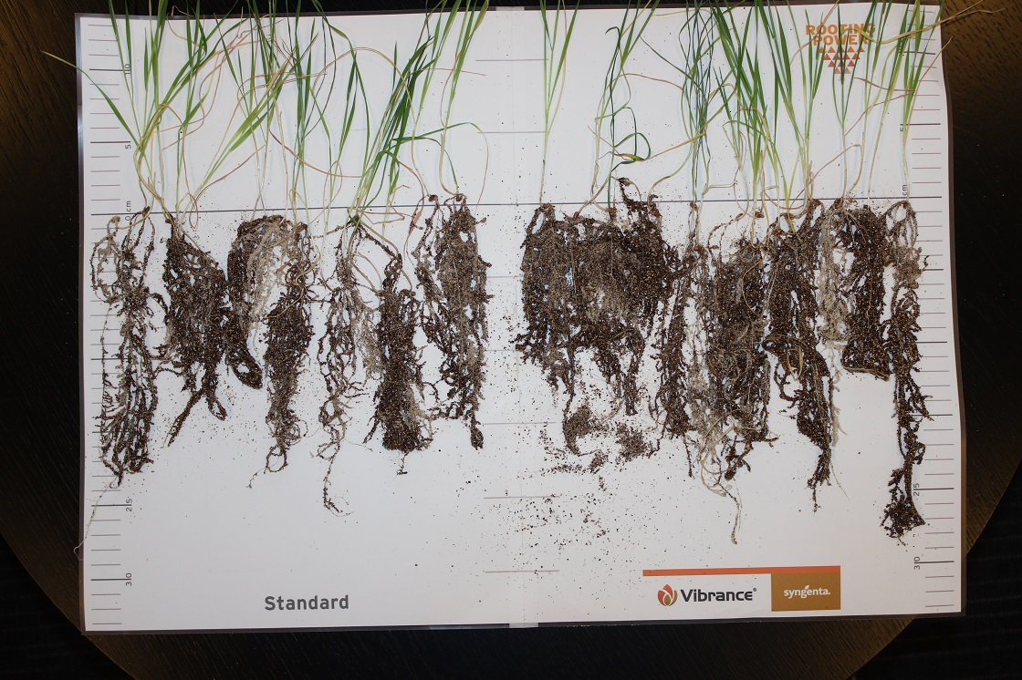 Root comparison, all individual rhizotrons, 6 weeks after planting